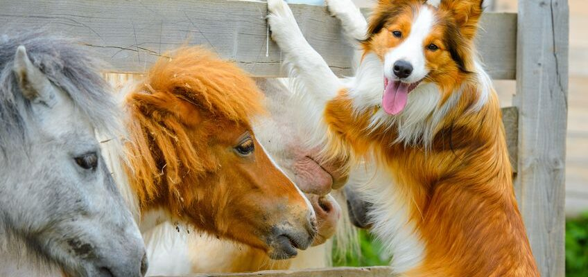 14156732 - pony and border collie dog are dating